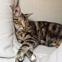 Adopt A Pet :: Maple - Vancouver, BC