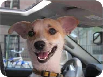 Jack Russell Terrier/Chihuahua Mix Dog for adoption in Long Beach, New York - Sparkey