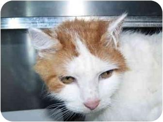 Domestic Mediumhair Cat for adoption in El Cajon, California - Scooter