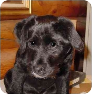 Wire Haired Terrier Lab Mix Puppies | www.pixshark.com ...