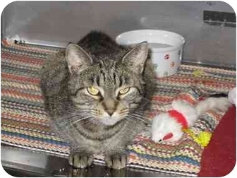 Domestic Shorthair Cat for adoption in Randolph, New Jersey - Ashley