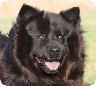 Chow Chow/Spitz (Unknown Type, Medium) Mix Dog for adoption in kennebunkport, Maine - Susie - Pending!