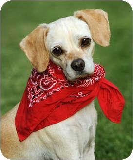 Pug/Beagle Mix Dog for adoption in El Segundo, California - CoCo