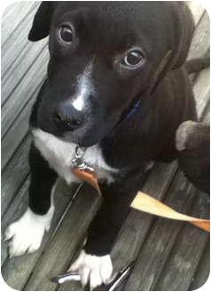 Labrador Retriever/Pointer Mix Puppy for adoption in Cincinnati, Ohio - Joey: Blanchester