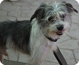 Cairn Terrier Mix Dog for adoption in Simi Valley, California - Scrappy