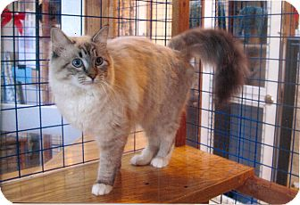 Ragdoll Kitten for adoption in Davis, California - Elizabeth