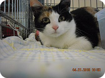 Calico Cat for adoption in Riverside, Rhode Island - Brina