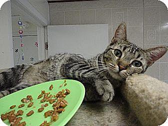 Domestic Shorthair Cat for adoption in MADISON, Ohio - Petunia