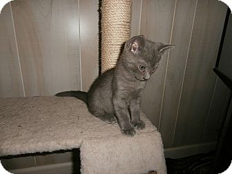 American Shorthair Kitten for adoption in Tampa, Florida - Xerxes