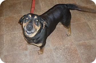 Dachshund/German Pinscher Mix Dog for adoption in Big Canoe, Georgia - Paige