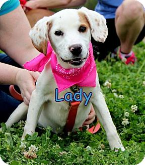 Spaniel (Unknown Type) Mix Puppy for adoption in Groton, Massachusetts - Lady