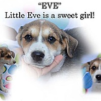 Adopt A Pet :: EVE - Spring Valley, NY