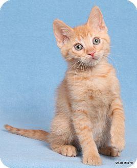 Domestic Shorthair Cat for adoption in Las Vegas, Nevada - Pastela