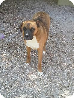 Boxer Mix Dog for adoption in West Plains, Missouri - Boxer