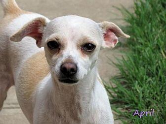 Chihuahua Dog for adoption in Oklahoma City, Oklahoma - April
