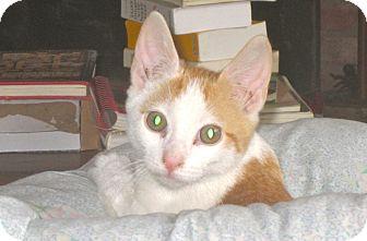 Domestic Shorthair Kitten for adoption in Newtown, Connecticut - Hail