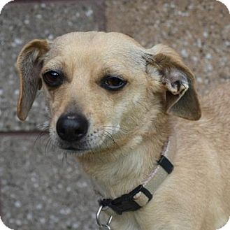 Chihuahua/Dachshund Mix Dog for adoption in Denver, Colorado - Broadway
