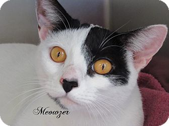 Domestic Shorthair Cat for adoption in Jackson, New Jersey - Meowzer