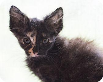 Domestic Mediumhair Kitten for adoption in Houston, Texas - Kitten 6