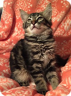 Maine Coon Kitten for adoption in Cerritos, California - Tiger