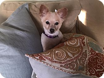 Pomeranian/Chihuahua Mix Dog for adoption in Saddle Brook, New Jersey - Rosie