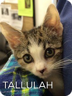 Domestic Shorthair Kitten for adoption in Great Neck, New York - Tallulah