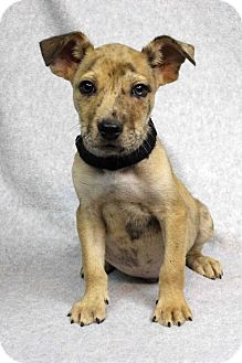 American Pit Bull Terrier Mix Puppy for adoption in Westminster, Colorado - Jacob