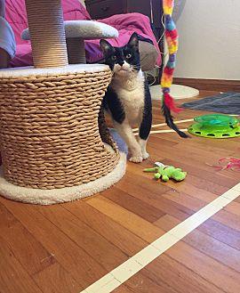 Domestic Mediumhair Cat for adoption in Orange, California - Midnight