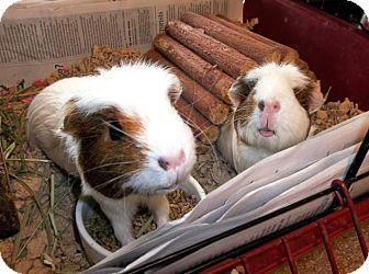 Guinea Pig for adoption in Bellingham, Washington - Shirley