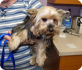 Yorkie, Yorkshire Terrier Puppy for adoption in Conroe, Texas - Reba