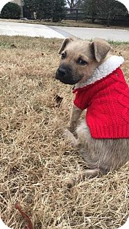 Dutch Shepherd/Boxer Mix Puppy for adoption in Gallatin, Tennessee - Mac
