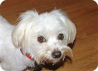 Maltese/Bichon Frise Mix Dog for adoption in Allentown, Pennsylvania - Bianca