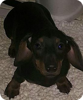 Dachshund Puppy for adoption in Oswego, Illinois - I'M ADPTD Ch Style Dogs Pickle