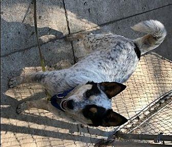 Australian Cattle Dog Puppy for adoption in Remus, Michigan - ACD Tethys