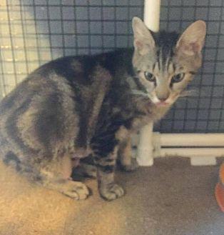Domestic Shorthair Cat for adoption in Tampa, Florida - Marabel