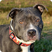 American Staffordshire Terrier Mix Dog for adoption in Westampton, New Jersey - Jingle Belle 33836967