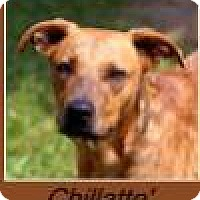 Adopt A Pet :: Chillatte' - Sullivan, IN