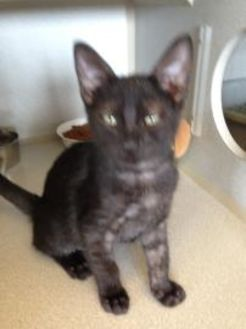 Domestic Shorthair/Domestic Shorthair Mix Cat for adoption in St. Thomas, Virgin Islands - MAX