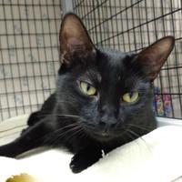 Adopt A Pet :: Midnight - Decatur, IL