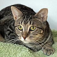 Adopt A Pet :: Koneko - San Jose, CA