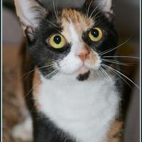 Domestic Shorthair/Domestic Shorthair Mix Cat for adoption in Frederick, Maryland - OPHELIA