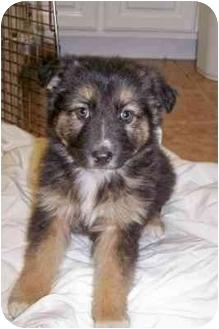 German Shepherd Dog/Australian Shepherd Mix Puppy for adoption in Franklin, Virginia - Dakota