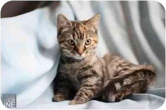 Ocicat Kitten for adoption in Cincinnati, Ohio - Vera Wang and Laura Ashley
