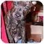 Photo 2 - American Bulldog/Labrador Retriever Mix Puppy for adoption in Naugatuck, Connecticut - Simba