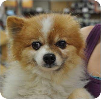 Pomeranian Dog for adoption in Austin, Texas - Loki