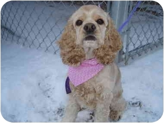 Cocker Spaniel Puppy for adoption in Cleveland, Ohio - Small-Frie Sandy