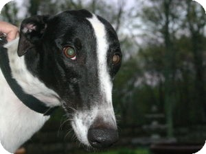 Greyhound Dog for adoption in Knoxville, Tennessee - TB Top Notch