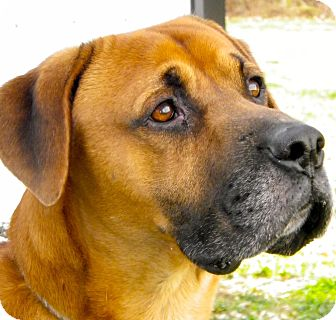 Boxer/Mastiff Mix Dog for adoption in Metamora, Indiana - Grant