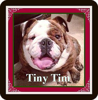 English Bulldog Dog for adoption in Park Ridge, Illinois - Tiny Tim *Adoption Pending!*