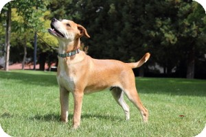 Boxer/Australian Cattle Dog Mix Dog for adoption in Tracy, California - Sully ADOPTED!!